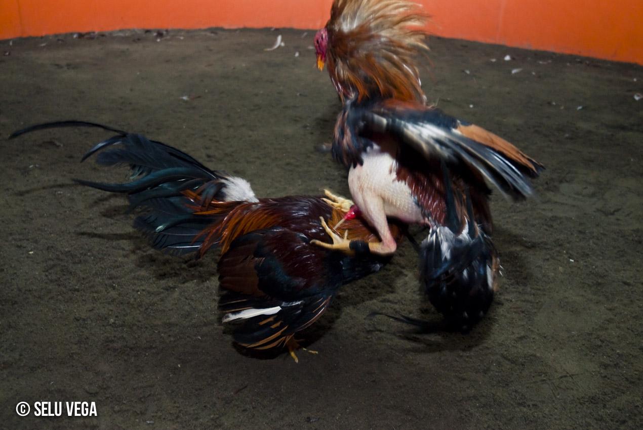 Pelea de Gallos en Lima Reportaje Finalista Premio de Fotografía Manuel Millares